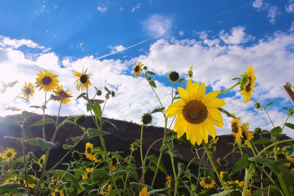 Sun flowers, New Mexico