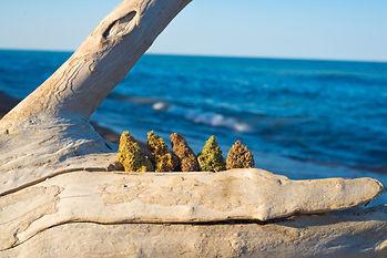 Cannabis on the Gold Coast