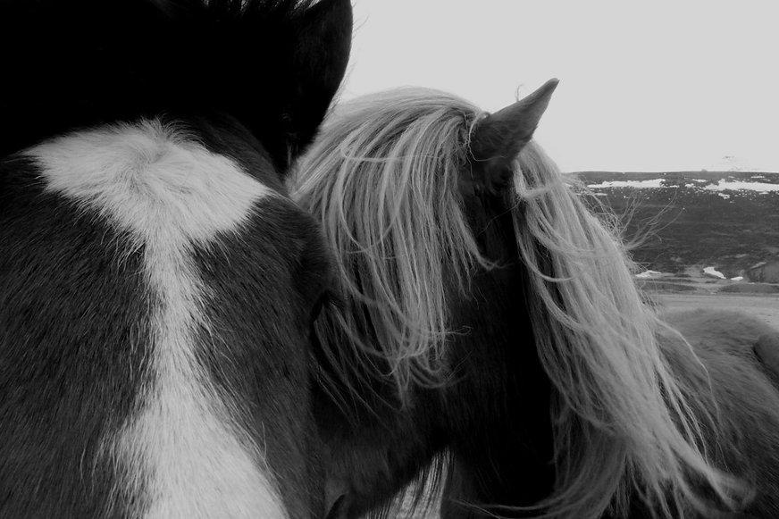 Foto von zwei Islandpferden in Island