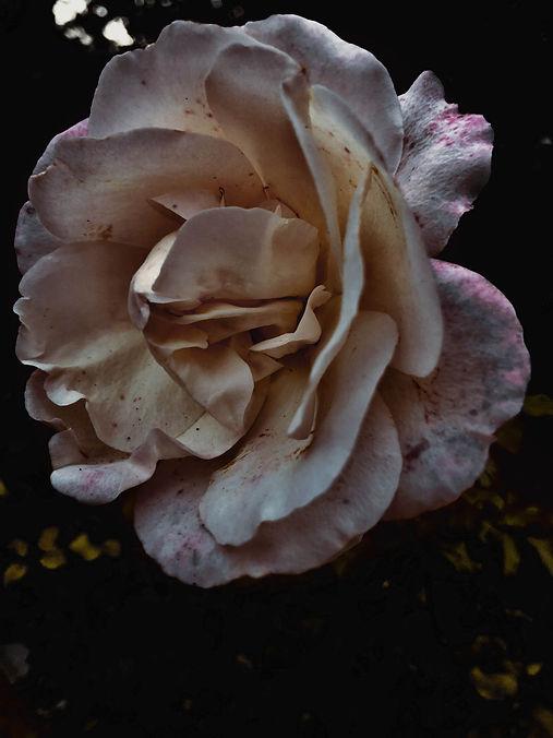 Foto einer Rose