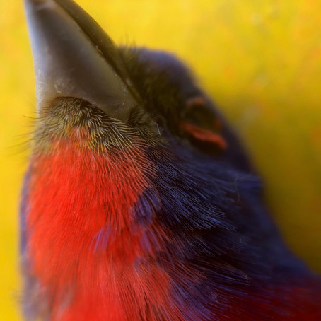 Painted bunting chin