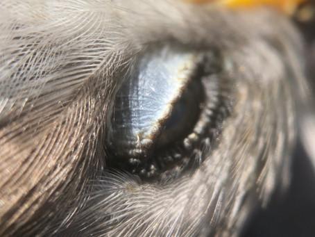 eye of mockingbird
