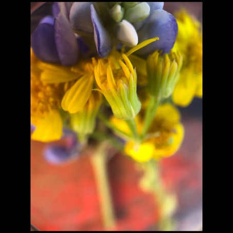 Bluebonnet and yellow