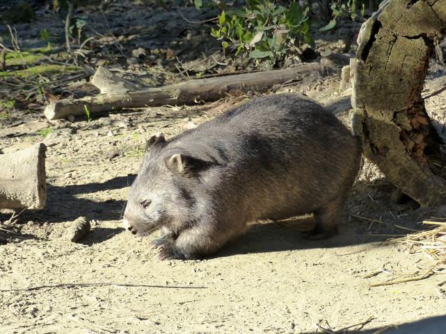 Wombat à narines plates