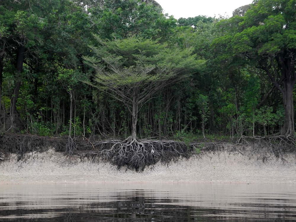 Les drôles d'arbres de l'Amazonie sur le Rio Negro