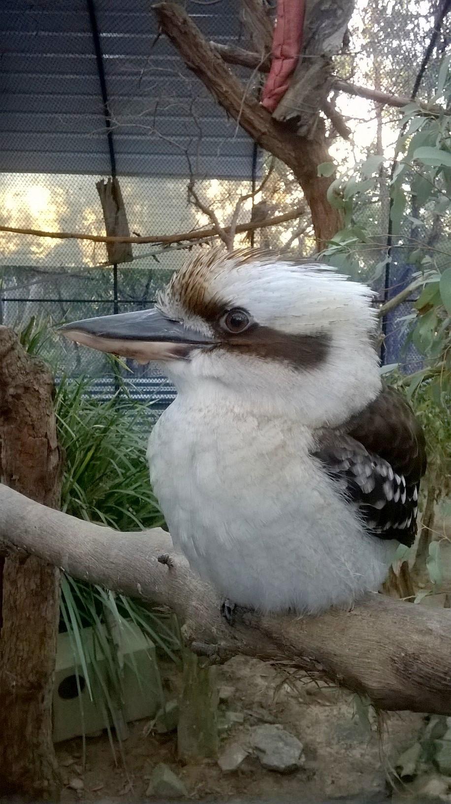 Kookaburra, le plus grand martin du monde...