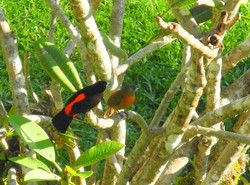 Tangara du Costa Rica (m&f)