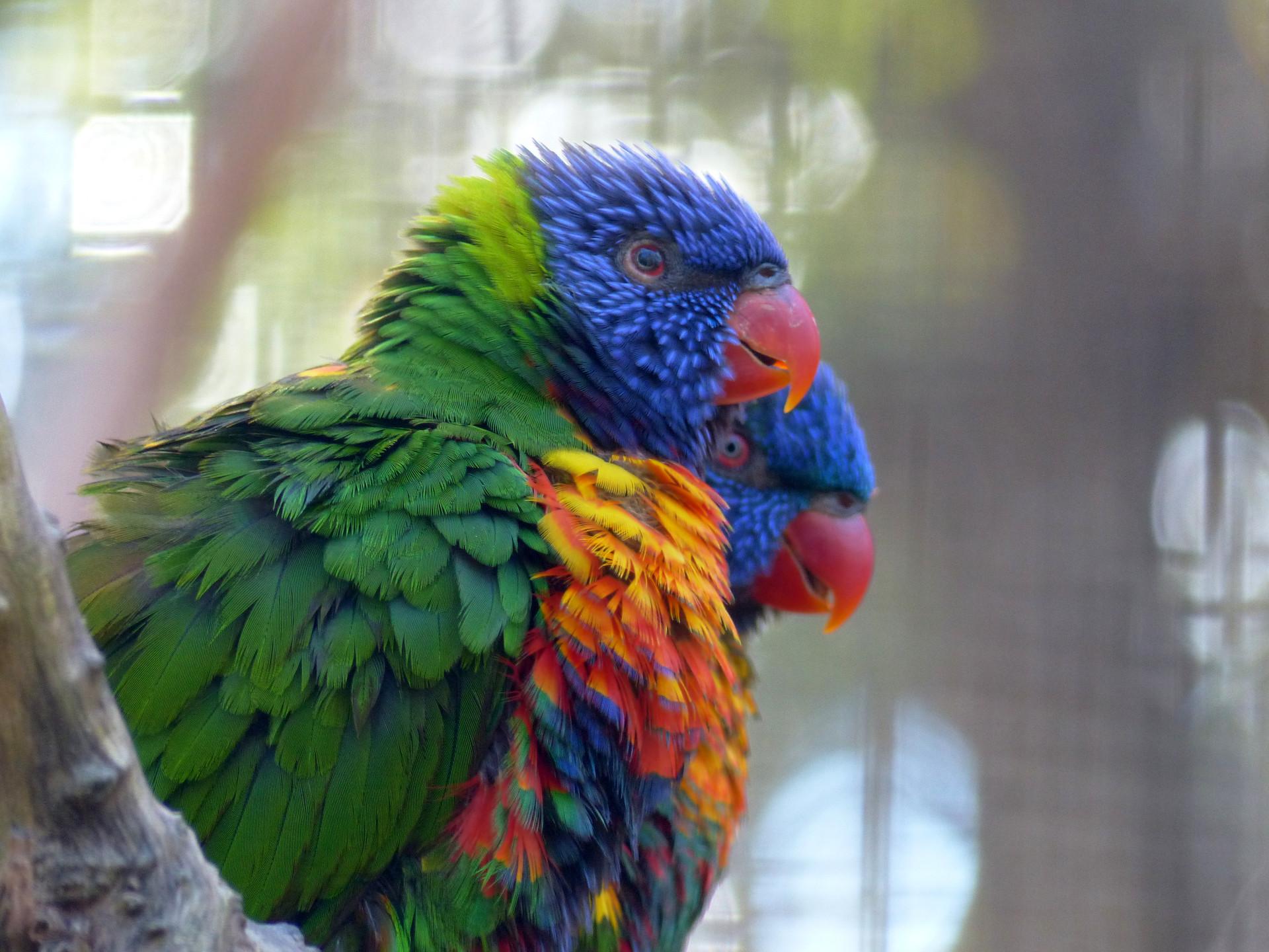 Perroquets multicolores
