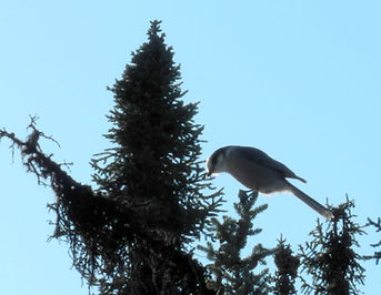 alaskan bird