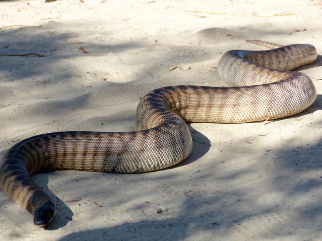 Python à tête noire