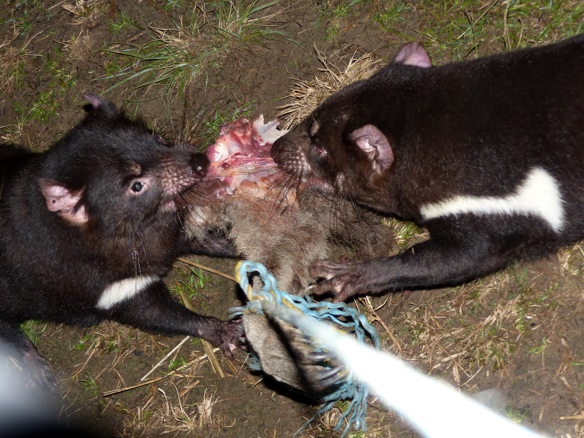 Deux diables affamés dévorant un cuissot de kangourou