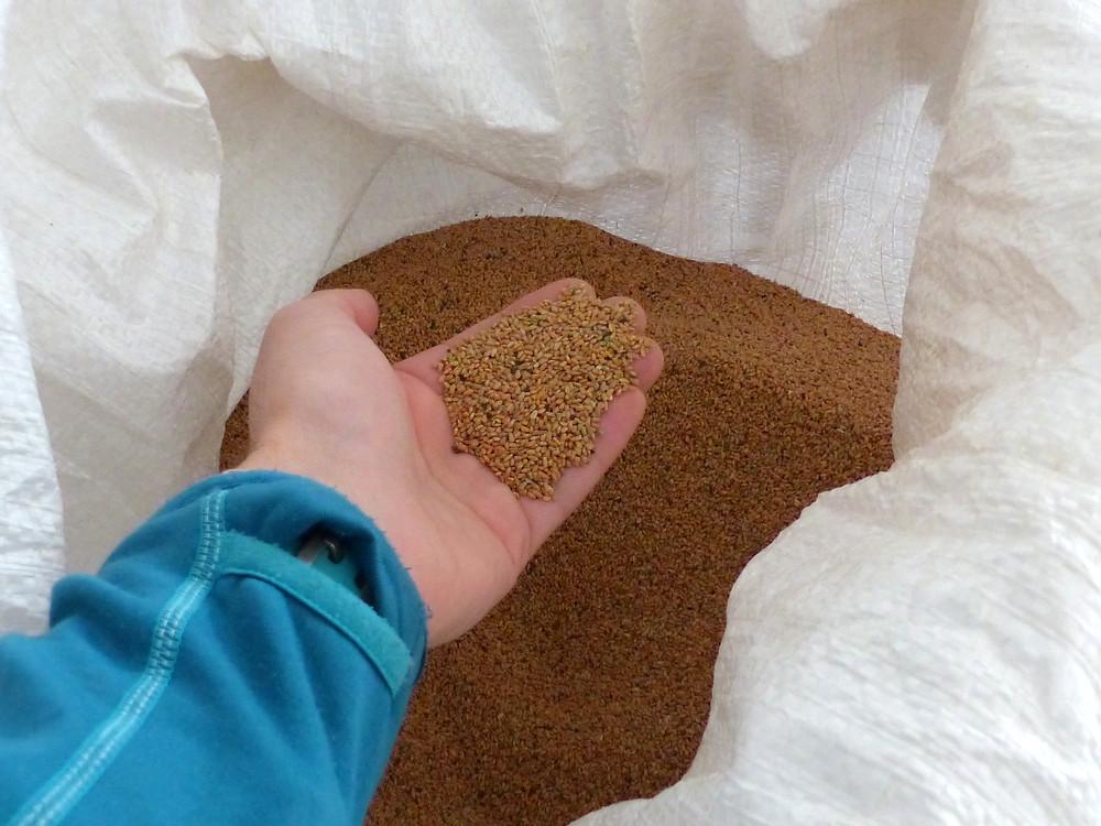 Des graines de la récolte précédente prêtes à être replantées en pépinière