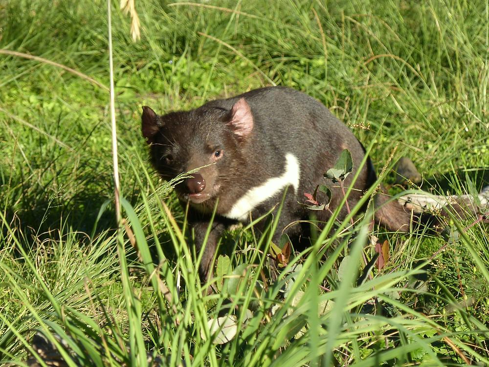 Un autre curieux animal actuellement menacé : le diable de Tasmanie.