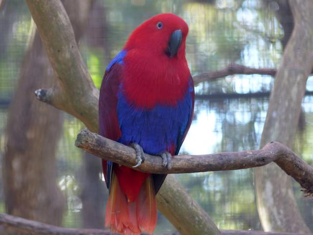 Perroquet rouge