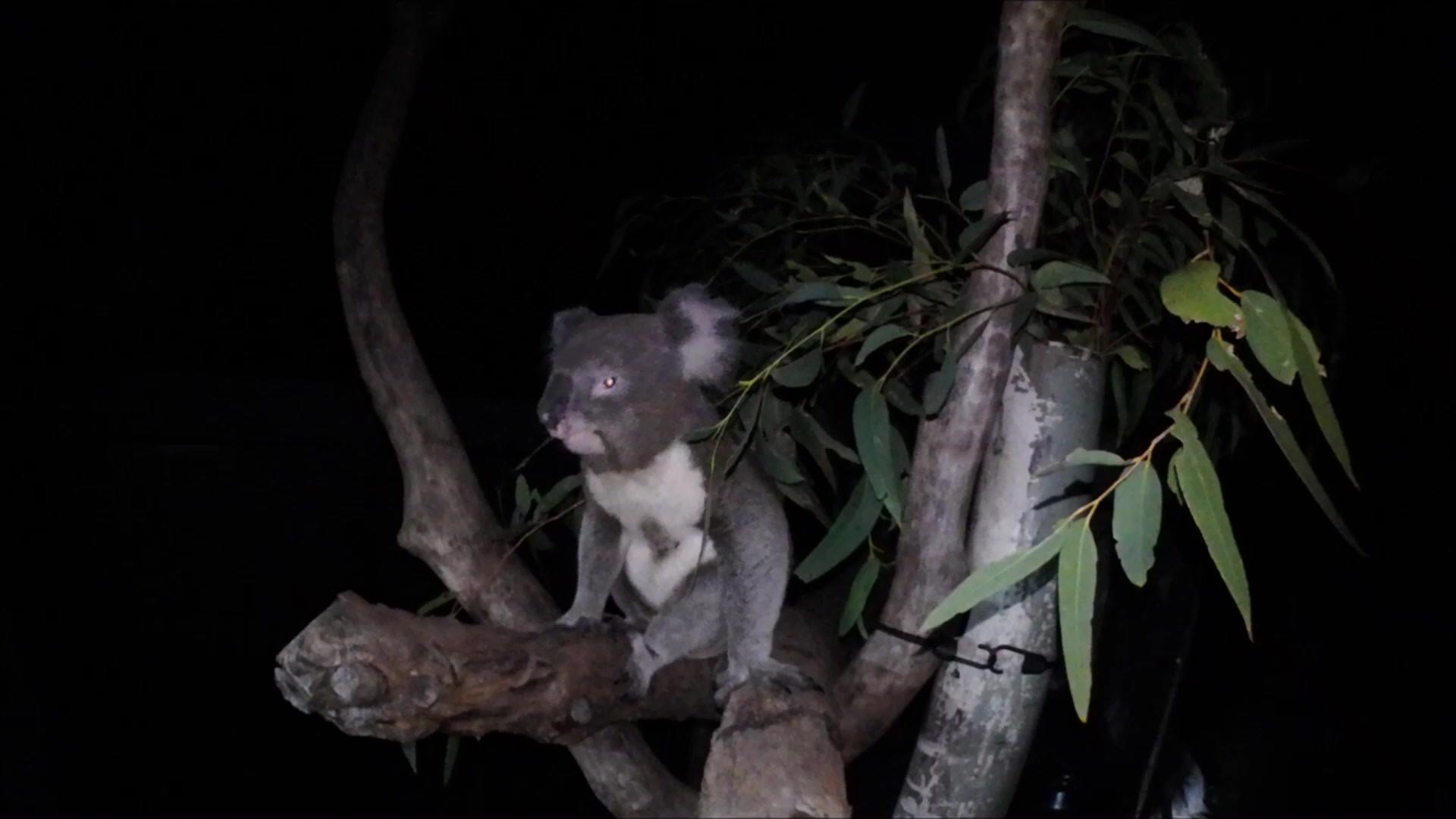Koala debout la nuit pour un petit snack
