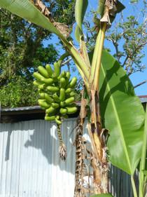 Ce ne sont pas des bananes !