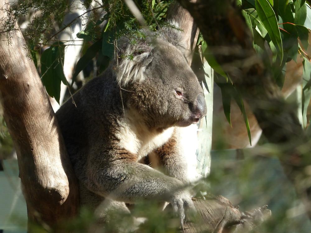 Un animal que les colons anglais trouvèrent bien étrange, aujourd'hui symbole du pays : le koala.