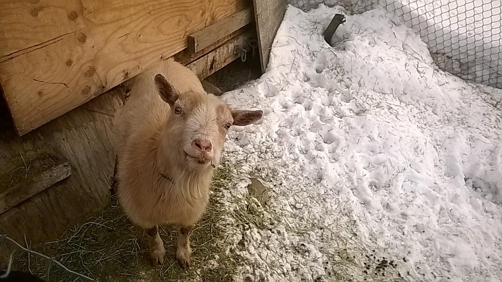 Snowball, notre (maigre) source de lait.