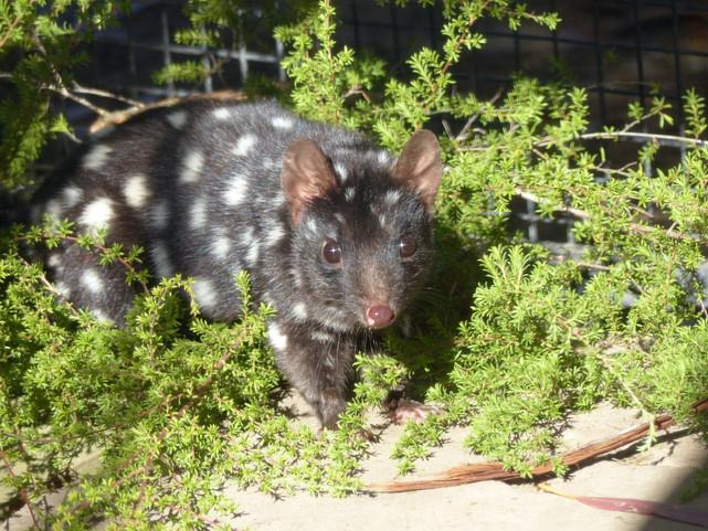 Chat marsupial moucheté