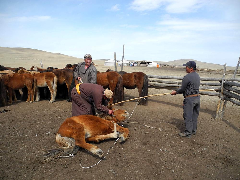 Voilà le cheval plaqué au sol, une jambe prise au piège de la corde.