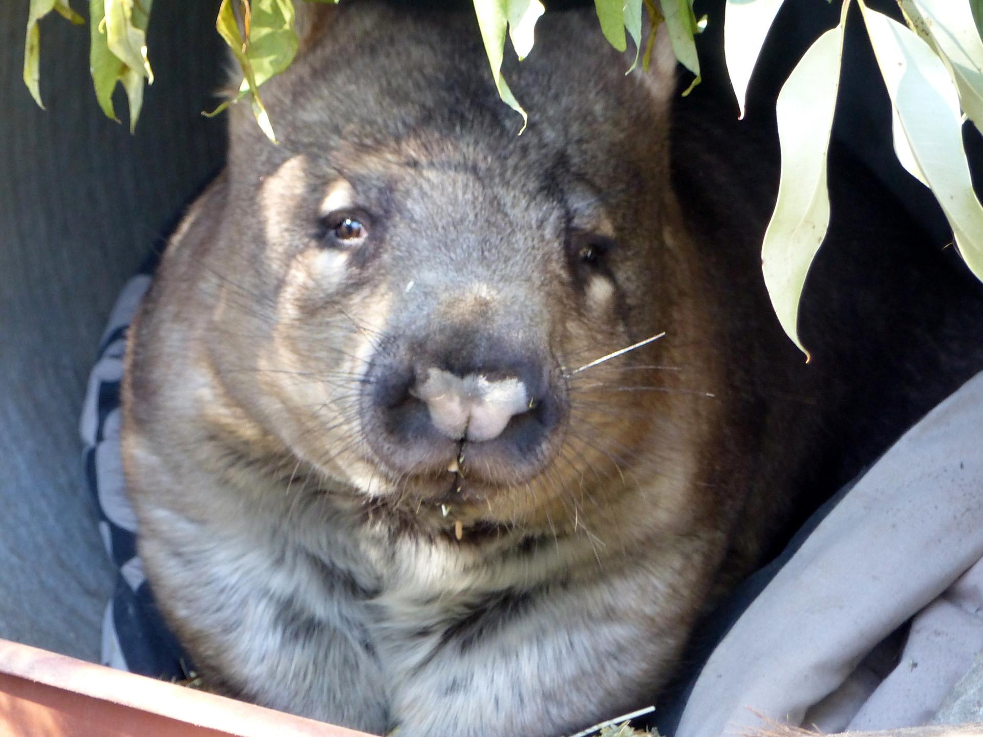 Wombat à narines poilues
