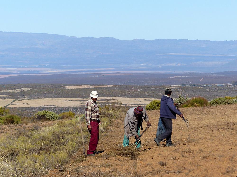 Les agriculteurs traditionnels voient leur travail valorisé par le système du commerce équitable