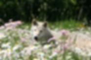 Wolf in alpine flowers stanza 16.JPG