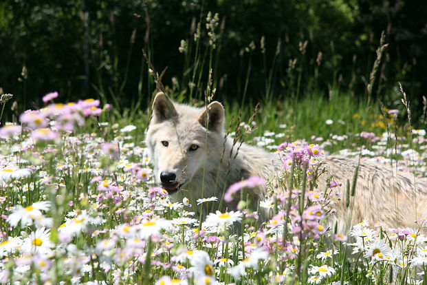 Wolf in alpine flowers stanza 16.JPG