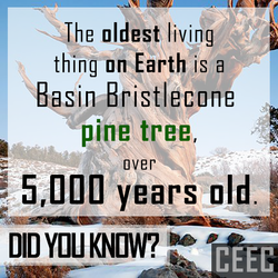 oldest living thing