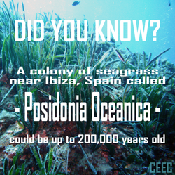 longest living clonal colony