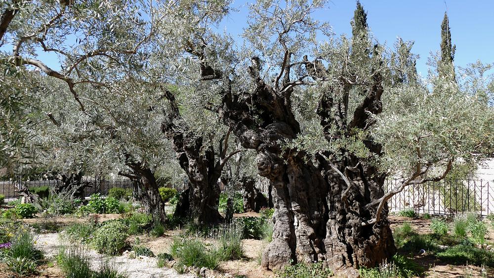 Etwa 700-900 Jahre alter Olivenbaum im Garten Gethsemane in Jerusalem