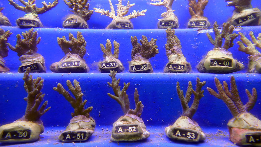 Korallenkrankenhaus am Unterwasserobservatorium, Eilat