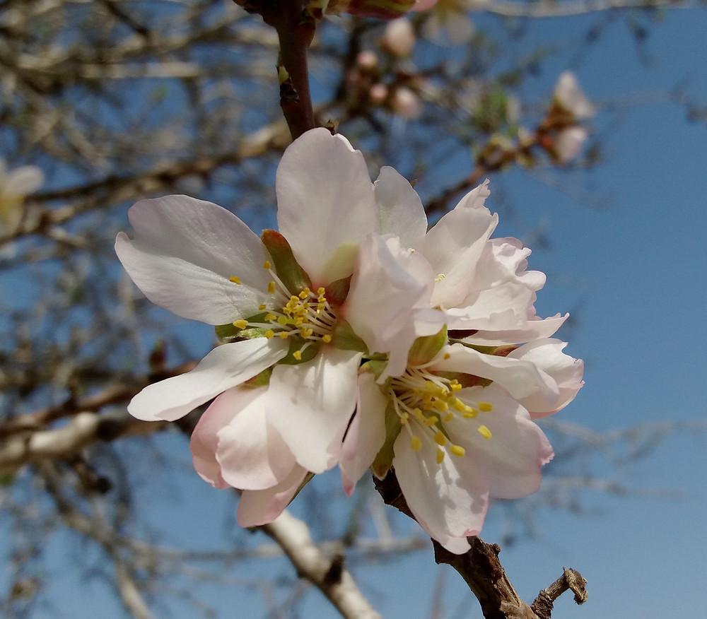 Mandelblüte in Israel, www.israel-reiseleiter.com