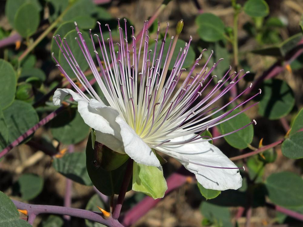 Blüte und Dornen des Kapernstrauches
