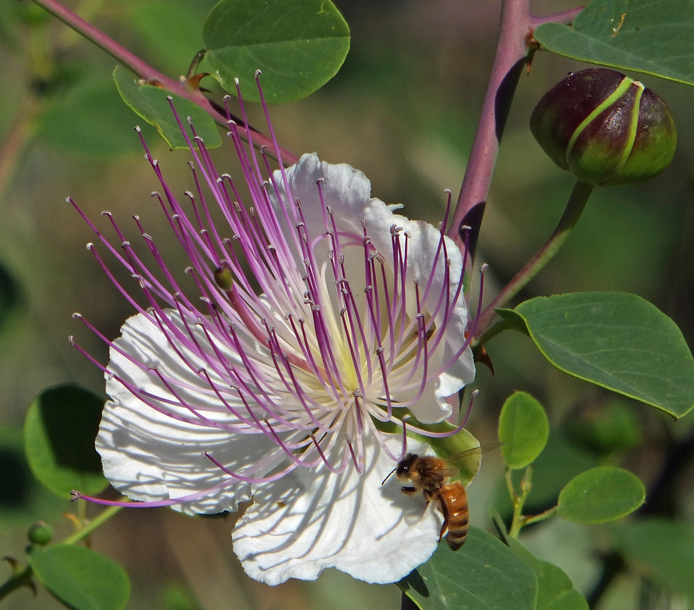 Kapernstrauch mit Blüte und Knospe