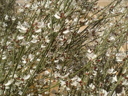 Weißer Ginster der Wüste