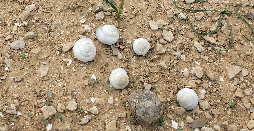 Schnecken im Winter in Israels Negev Wüste