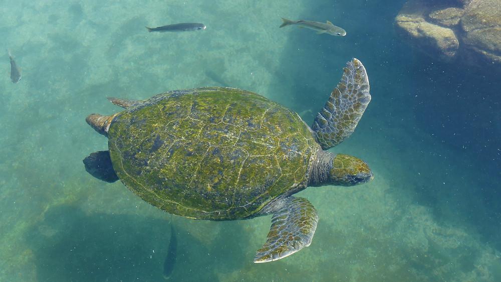Grüne Meeresschildkröte, Eilat