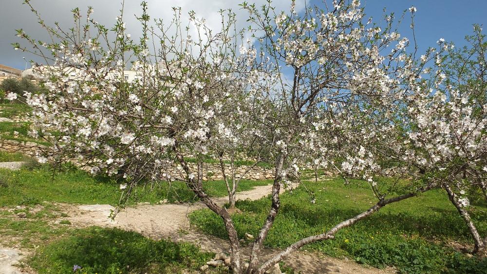 Mandelbäume in Blüte in Nazareth, Israel Reiseleiter Ushi Engel