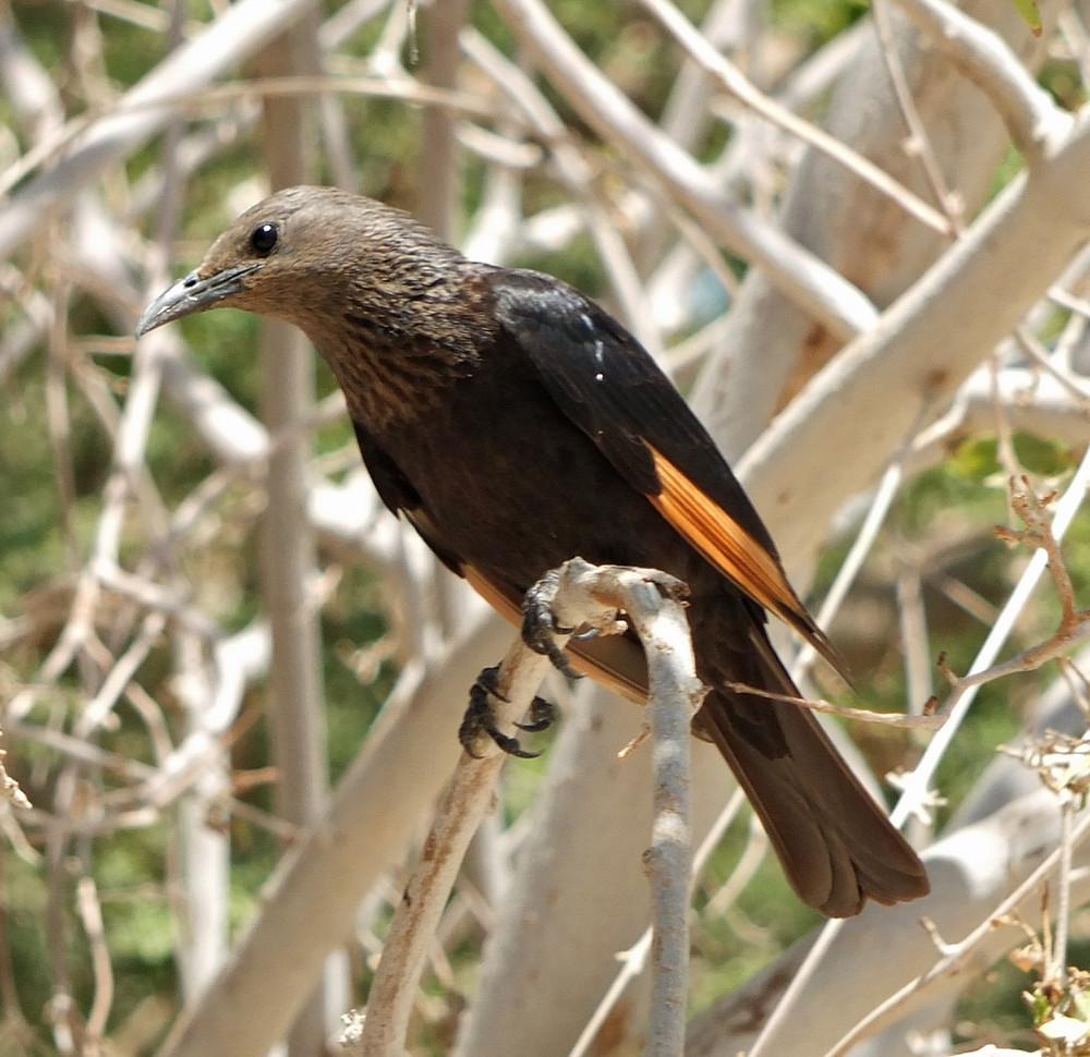 Tristramstar (Weibchen) in Israel