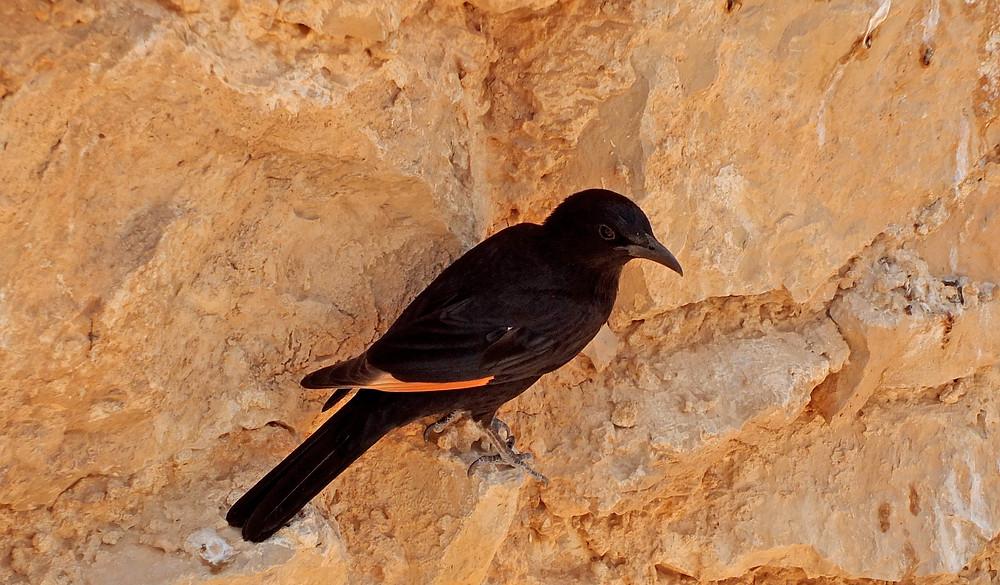 Tristamstar (Männchen) auf Massada
