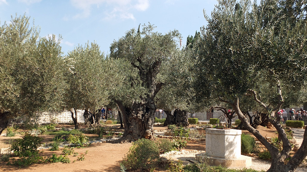 Garten von Gethsemane, Jerusalem