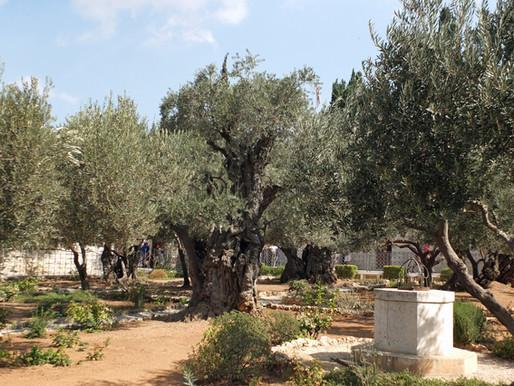 Der Garten Gethsemane am Ölberg