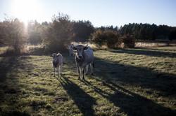 Cows (Pays de Sault, France)
