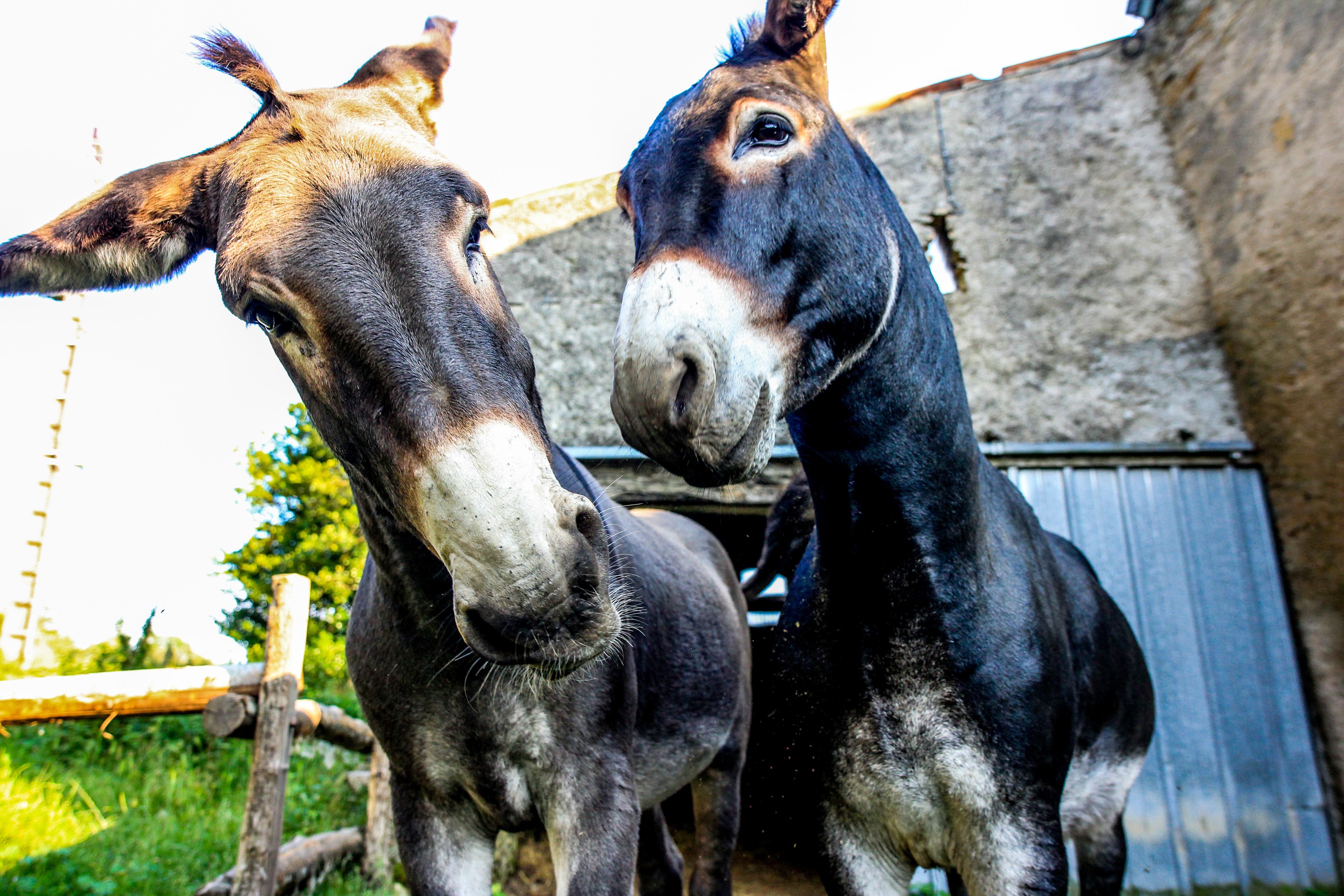 Donkey (Montagne Noire, France)