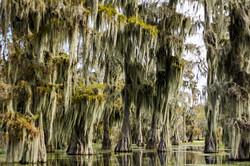 Cypress & Spanish Moss (Louisiana)