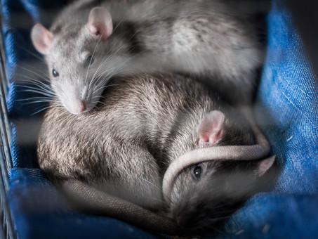 Comment faire fuir les rats d'une maison ?