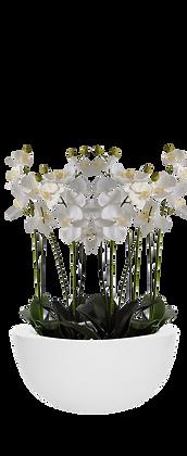 Coupe Orchidées L WH Fibre laquée Blanc