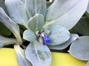 DU JARDIN A L'ASSIETTE | La Mertensia Maritima, une plante digne de vos tables de fêtes !