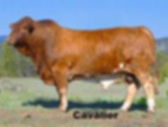Cavalier Bull_edited.jpg